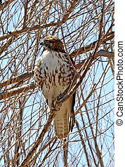 Red-tailed Hawk in Cottonwood 1