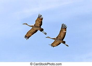 Sandhill Cranes, Willcox, AZ 1 - Pair of Sandhill Cranes...