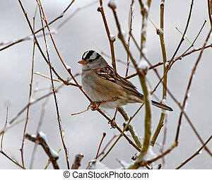 White-crowned Sparrow in winter - White-crowned Sparrow...