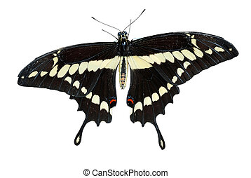 Isolated Swallowtail butterfly on white background