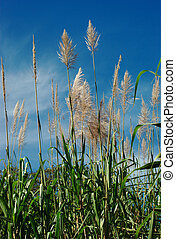 Sugarcane Plants - Sugarcane plants bending in the wind with...