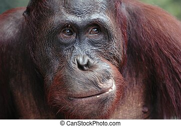 Orangutan Ben - A portrait of the young orangutan on a...
