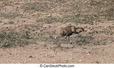 Arizona Ground Squirrel - Round tail ground squirrel hunting...