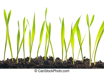 spring grass plants is growing out of ground, isolated on...