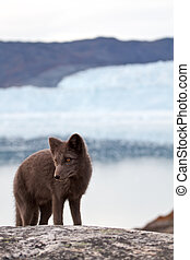 Arctic Fox - An arctic Fox in front of the famous Eqi...
