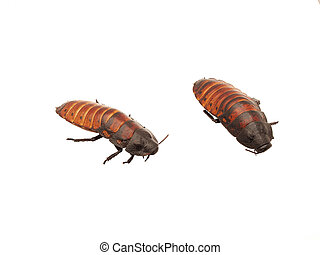 Madagascar cockroaches on a white background