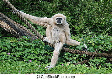 A gibbon poses for the camera