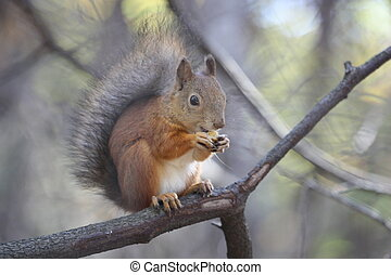 Squirrel  - Close up of a cute squirrel.