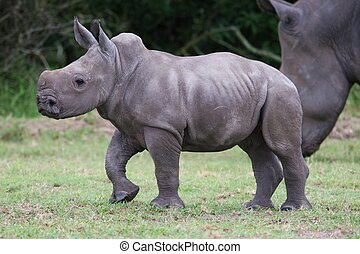 Young Rhinoceros - Cute baby rhinoceros with its mother in...