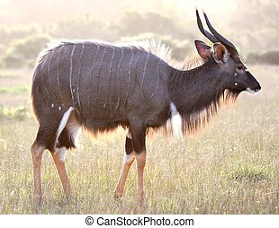 Backlit Nyala Antelope - Nyala antelope ram backlit by late...