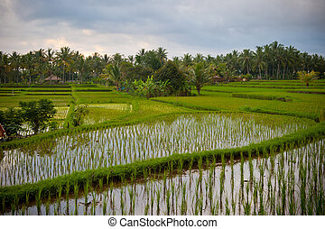 rice terraces of bali, indonesia