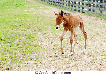 young colt walking in a paddock area