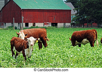 young cows grazing in field with red barn in background