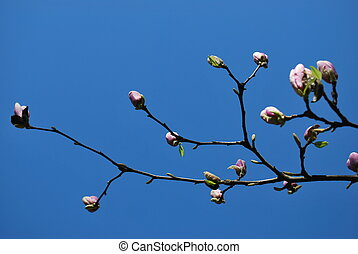 Pink magnolia flowers blossoming in spring on branches...