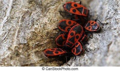 Group Of Firebugs - Group of firebugs (Pyrrhocoris Apterus)...