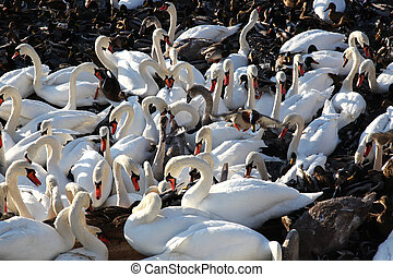 swans and wild ducks - feeding of swans and wild ducks