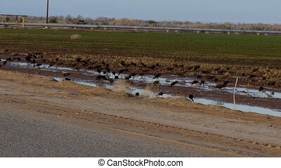 Black Ibis Birds On a Cultivated Field