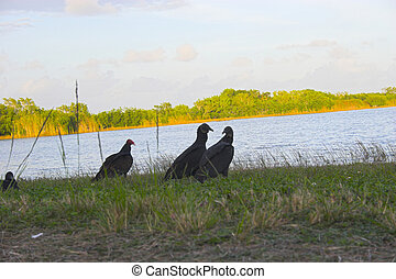Vultures gathered in group on the bank of Florida lake