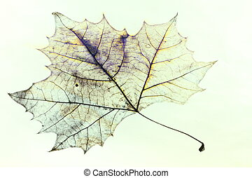 Maple Leaf Drawing - Photo of the drawing of a transparent...