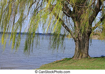Willow tree - Beautiful willow tree growing near lake
