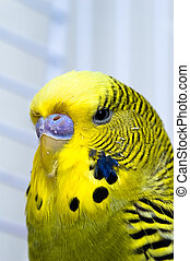 Canary bird - Green male domestiq Canary bird in captivity