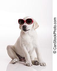 Puppy with sunglasses - Labrador retriever puppy wearing...