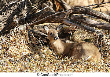 White-tailed Deer - White-tailed deer Odocoileus virginianus...
