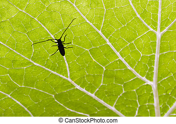 Beetle on Green Leaf - Silhouette of a longhorn beetle on a...