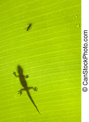Hunting Scene - Gecko stalking a beetle on a tropical banana...