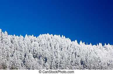 Pine trees covered in snow on skyline - Famous Smoky...