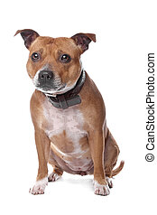 english staffordshire bull terrier staffordshire, staffy,...