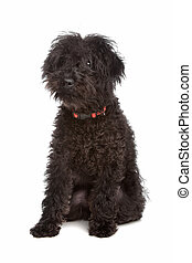 Labradoodle in front of a white background