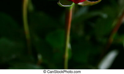 close-up view on red rose, shallow DOF