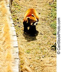 Roter Panda - China