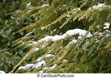 Snow on Fir Tree Branch
