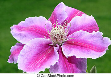 clematis flower with green grass background