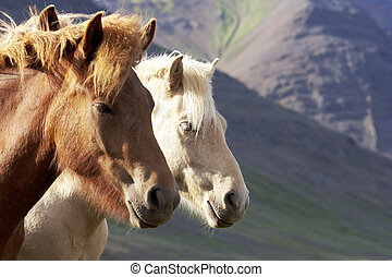 Iceland Horses, Red Dun and Silver - Two Iceland horses, red...