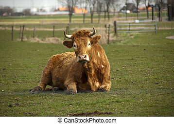 cow laying in the fiels
