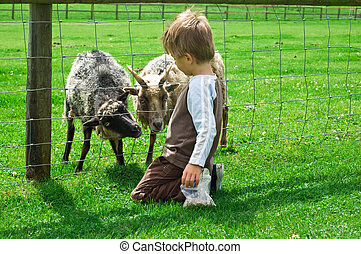 Child feeding Goats - A small male child feeding some goats...