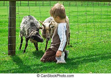criança, alimentação, cabras