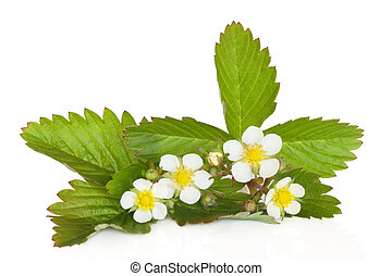 Strawberry Plant in Flower