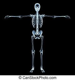 Human Skeleton X-Ray Image - radiological image of the human...