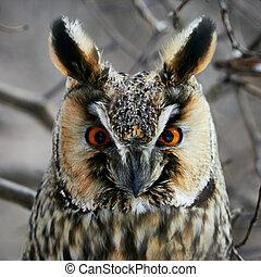 Screech-owl portrait Closeup shot in nature scenics