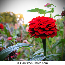 Vintage Red Flower - A red zinnia in a garden with a stark,...
