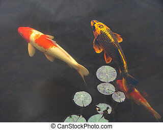 Koi goldfish in pool - Koi goldfish swim beneath lily pads...
