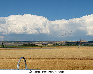 grain field - irrigated grain field during harvest with...