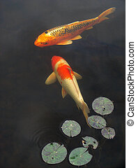Koi goldfish - vertical image of Koi goldfish swimming in a...