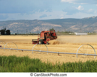 grain harvest - a red combine harvesting golden wheat in an...