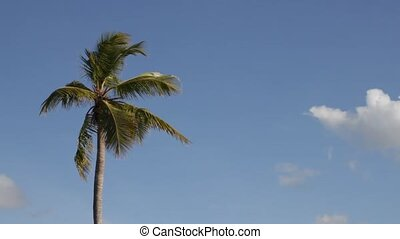 palmtree - palm tree and blue sky on a windy day