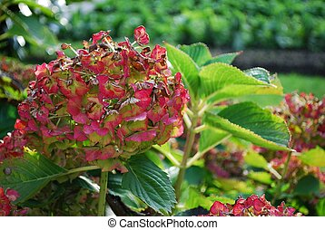 Hydrangea - Autumn red hydrangea withering in the garden